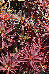 Bonfire Cushion Spurge (Euphorbia polychroma 'Bonfire') at Cole's Florist & Garden Centre