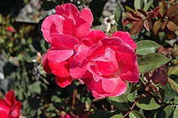 Pink Knock Out® Rose (Rosa 'Radcon') at Cole's Florist & Garden Centre