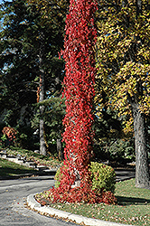Virginia Creeper (Parthenocissus quinquefolia) at Cole's Florist & Garden Centre