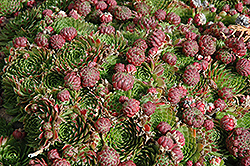 Red Beauty Hens And Chicks (Sempervivum 'Red Beauty') at Cole's Florist & Garden Centre