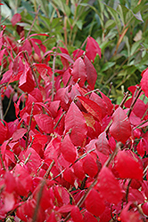 Burning Bush (tree form) (Euonymus alatus '(tree form)') at Cole's Florist & Garden Centre
