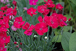 Neon Star Pinks (Dianthus 'Neon Star') at Cole's Florist & Garden Centre