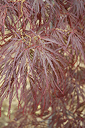 Garnet Cutleaf Japanese Maple (Acer palmatum 'Garnet') at Cole's Florist & Garden Centre