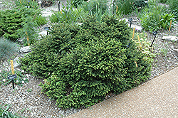 Pumila Norway Spruce (Picea abies 'Pumila') at Cole's Florist & Garden Centre