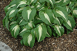 Night Before Christmas Hosta (Hosta 'Night Before Christmas') at Cole's Florist & Garden Centre