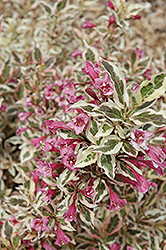 My Monet® Weigela (Weigela florida 'Verweig') at Cole's Florist & Garden Centre