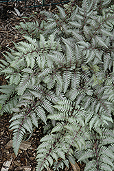 Silver Falls Painted Fern (Athyrium nipponicum 'Silver Falls') at Cole's Florist & Garden Centre