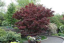 Bloodgood Japanese Maple (Acer palmatum 'Bloodgood') at Cole's Florist & Garden Centre