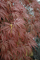 Inaba Shidare Cutleaf Japanese Maple (Acer palmatum 'Inaba Shidare') at Cole's Florist & Garden Centre