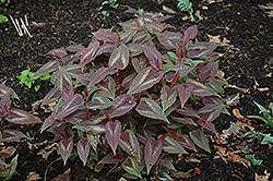 Red Dragon Fleeceflower (Persicaria microcephala 'Red Dragon') at Cole's Florist & Garden Centre