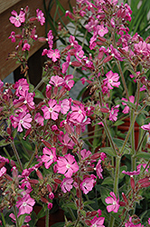 Rolly's Favorite Campion (Silene 'Rolly's Favorite') at Cole's Florist & Garden Centre