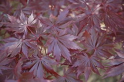 Trompenburg Japanese Maple (Acer palmatum 'Trompenburg') at Cole's Florist & Garden Centre