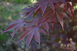 Moonfire Japanese Maple (Acer palmatum 'Moonfire') at Cole's Florist & Garden Centre