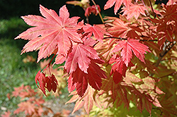 Autumn Moon Full Moon Maple (Acer shirasawanum 'Autumn Moon') at Cole's Florist & Garden Centre