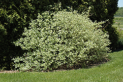 Silver and Gold Dogwood (Cornus sericea 'Silver and Gold') at Cole's Florist & Garden Centre