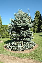 Royal Knight Blue Spruce (Picea pungens 'Royal Knight') at Cole's Florist & Garden Centre