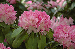 Holden Rhododendron (Rhododendron 'Holden') at Cole's Florist & Garden Centre