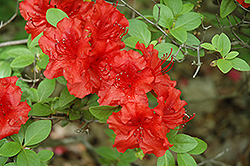Girard's Hot Shot Azalea (Rhododendron 'Girard's Hot Shot') at Cole's Florist & Garden Centre