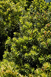 New Selection Yew (Taxus x media 'New Selection') at Cole's Florist & Garden Centre