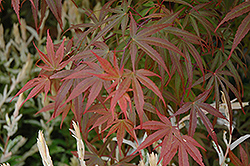 Dwarf Red Pygmy Japanese Maple (Acer palmatum 'Red Pygmy') at Cole's Florist & Garden Centre