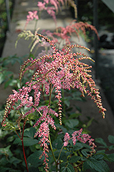 Ostrich Plume Astilbe (Astilbe x arendsii 'Ostrich Plume') at Cole's Florist & Garden Centre