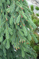 Weeping White Spruce (Picea glauca 'Pendula') at Cole's Florist & Garden Centre
