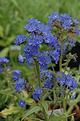 Blue Angel Summer Forget-Me-Not (Anchusa capensis 'Blue Angel') at Cole's Florist & Garden Centre