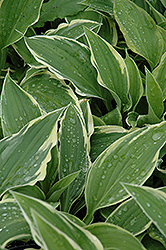 Antioch Hosta (Hosta 'Antioch') at Cole's Florist & Garden Centre