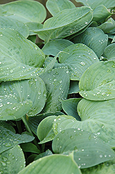 Blue Umbrellas Hosta (Hosta 'Blue Umbrellas') at Cole's Florist & Garden Centre
