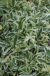Variegated Wall Cress (Arabis caucasica 'Variegata') at Cole's Florist & Garden Centre