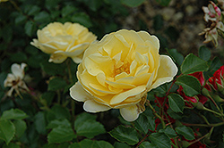 Sunrise™ Vigorosa® Rose (Rosa 'KORsupigel') at Cole's Florist & Garden Centre