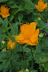 Golden Queen Globeflower (Trollius chinensis 'Golden Queen') at Cole's Florist & Garden Centre