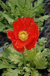 Garden Gnome Poppy (Papaver nudicaule 'Garden Gnome') at Cole's Florist & Garden Centre