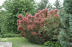 Royal Purple Smokebush (Cotinus coggygria 'Royal Purple') at Cole's Florist & Garden Centre