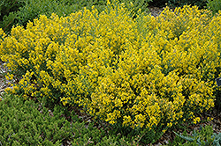 Royal Gold Woadwaxen (Genista tinctoria 'Royal Gold') at Cole's Florist & Garden Centre