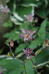 Empress Toad Lily (Tricyrtis 'Empress') at Cole's Florist & Garden Centre