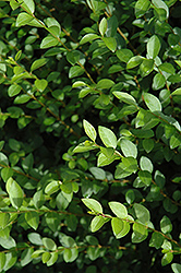 Amur Privet (Ligustrum amurense) at Cole's Florist & Garden Centre