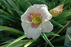 Siloam Virginia Henson Daylily (Hemerocallis 'Siloam Virginia Henson') at Cole's Florist & Garden Centre