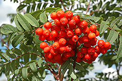 Cardinal Royal Mountain Ash (Sorbus aucuparia 'Cardinal Royal') at Cole's Florist & Garden Centre