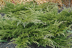 Calgary Carpet Juniper (Juniperus sabina 'Calgary Carpet') at Cole's Florist & Garden Centre
