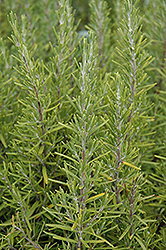 Upright Rosemary (Rosmarinus officinalis 'Upright') at Cole's Florist & Garden Centre
