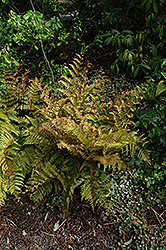 Autumn Fern (Dryopteris erythrosora) at Cole's Florist & Garden Centre