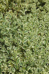 Variegated Boxwood (Buxus sempervirens 'Elegantissima') at Cole's Florist & Garden Centre