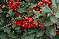 Berri-Magic Meserve Holly (Ilex x meserveae 'Berri-Magic') at Cole's Florist & Garden Centre