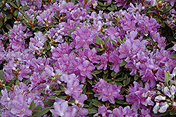Purple Gem Rhododendron (Rhododendron 'Purple Gem') at Cole's Florist & Garden Centre