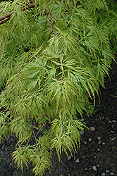 Seiryu Japanese Maple (Acer palmatum 'Seiryu') at Cole's Florist & Garden Centre