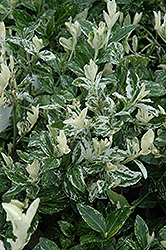 Harlequin Wintercreeper (Euonymus fortunei 'Harlequin') at Cole's Florist & Garden Centre