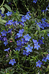 Grace Ward Lithodora (Lithodora 'Grace Ward') at Cole's Florist & Garden Centre