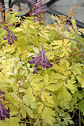 Berry Exciting Corydalis (Corydalis 'Berry Exciting') at Cole's Florist & Garden Centre