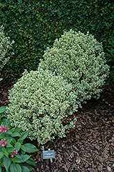 Variegated Boxwood (Buxus sempervirens 'Variegata') at Cole's Florist & Garden Centre